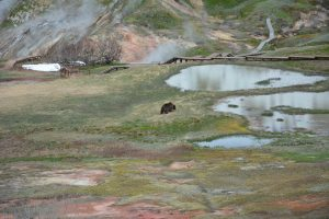 Bears of the Valley of Geysers (2)