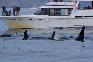 Orcas neben Orca